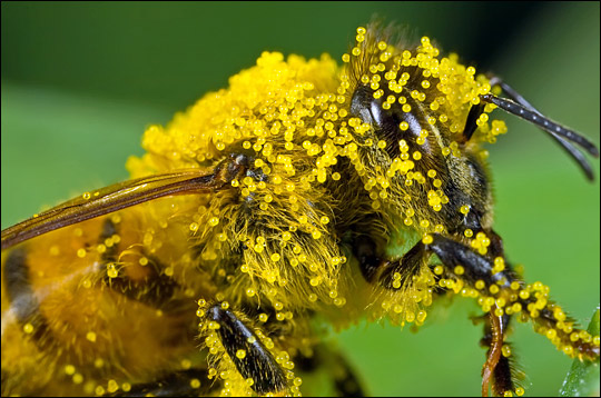 bee-pollen-benefits